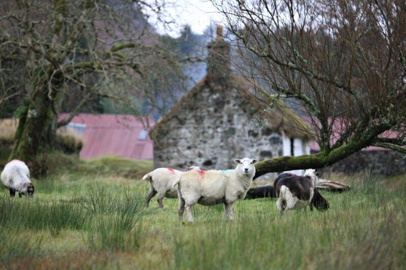 Auchindrain sheep