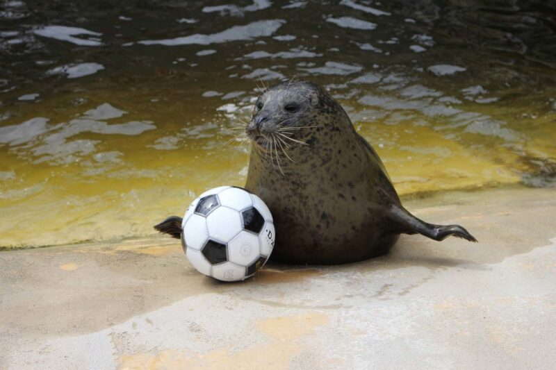 Seal with a football at Deep Sea World