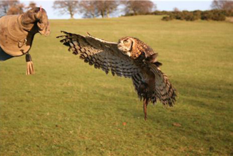 Rhuallan Raptors african spotted eagle owl