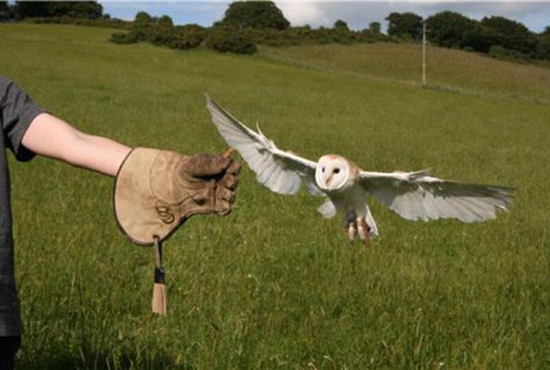 Rhuallan Raptors Barn Owl